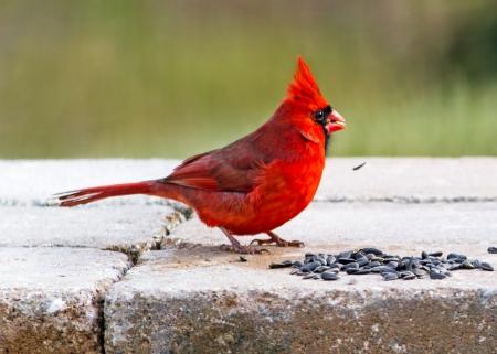 feasting: Cardinal Feasting on Sunflower Seeds