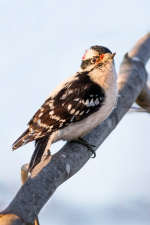downy woodpecker: A male downy woodpecker perches on a maple tree branch