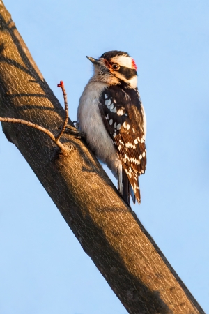 downy woodpecker: Male downy woodpecker perched on a maple tree branch.