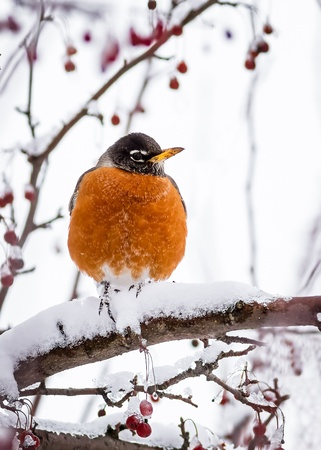 A robin rests upon a crabapple tree branch covered in snow