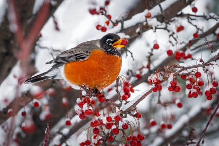 A robin rests on a snowy branch of a crab apple tree. Stock Photo