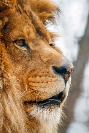Large male lion face photographed close and in profile