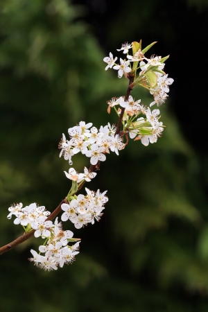 An upswept limb of a Bradford Pear tree is covered with white flowers in the Spring. Stock Photo - 19201154