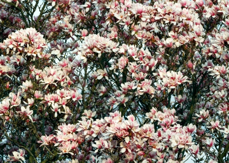 mass flowering: A saucer magnolia trees blooms in the spring.