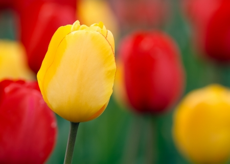 tulipa: Yellow and red tulips with one yellow tulip in sharp focus bloom in a spring perennial garden. Stock Photo
