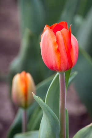 pinkish: A salmon tulip bloom in the spring perennial garden with vibrant pinkish orange tones  Stock Photo