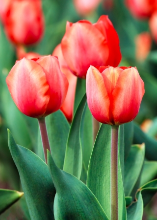 Orange tulips bloom in the spring perennial flower garden  photo