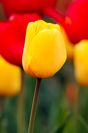 gold en: A yellow gold tulip flower with red and yellow tulips behind in the soft-focused background