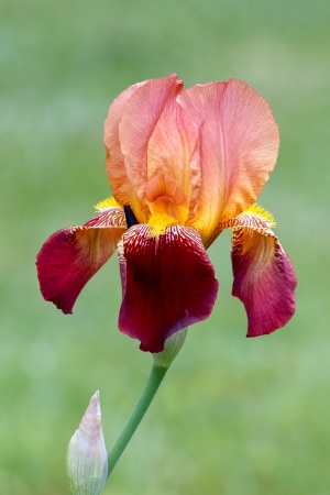bearded: A colorful bearded iris flower with peach and deep magenta red petals