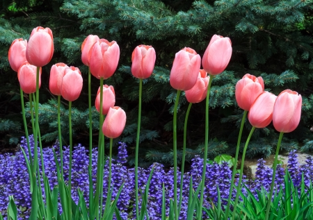 april showers: Pink tulips bloom over violet purple ajuga flowers with blue spruce pines behind