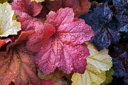 perennial: Heuchera or Coral Bells leaves wet with raindrops in the perennial garden Stock Photo