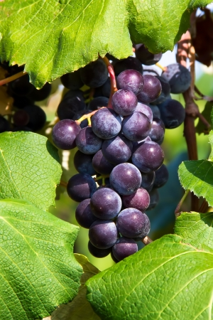 concord grape: Deep purple grapes hand in a cluster surrounded by large green leaves in the vineyard  Stock Photo