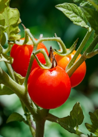 Tiny cherry tomatoes grow on a vine in the vegetable garden  photo