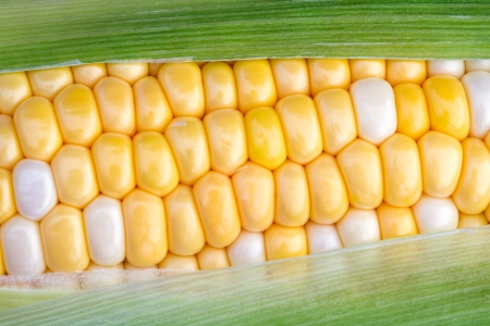 The green husk is partially removed to reveal yellow and white bi color sweet corn on the cob  photo