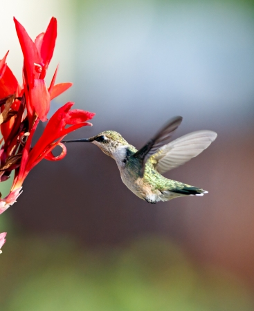 Hummingbird and Red Cana Flower photo