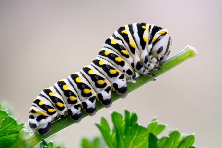 north american butterflies: Caterpillar of a black swallowtail butterfly munching on parsley  Larva of the  eastern  black swallowtail  Papilio polyxenes , also called the American swallowtail or parsnip swallowtail