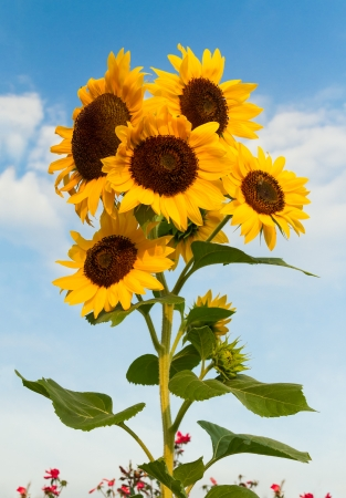 Beautiful sunflowers bloom standing tall against a cloud-draped blue sky  photo