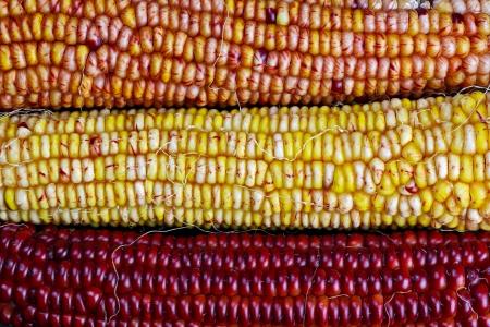 오렌지, 노랑, 빨강의 가을 수확 색상에 장식 인도 옥수수 또는 maizeare의 세 가지 다채로운 귀 스톡 콘텐츠