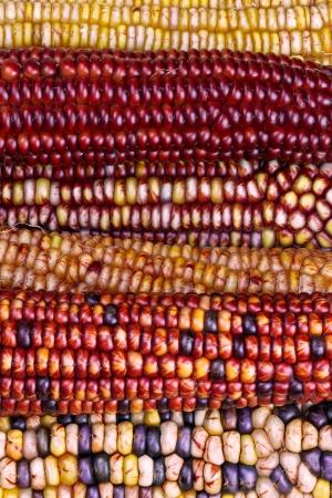 espiga de trigo: Un fascinante variedad de colores de oto�o se muestra en estas mazorcas de ma�z indio ornamental
