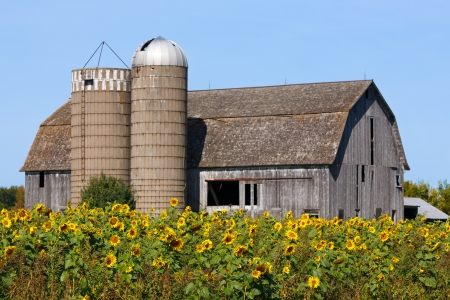 A brilliant crop of sunflowers is backed by an old weathered barn with twin silos along a Wisconsin highway  photo