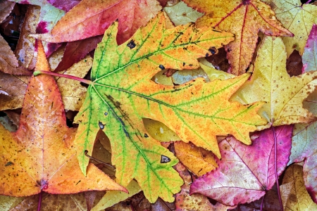intensely: Photo features intensely colorful fall foliage on fallen autumn leaves