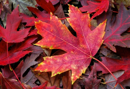 intensely: An intensely colorful autumn maple leaf lies on the fall forest floor