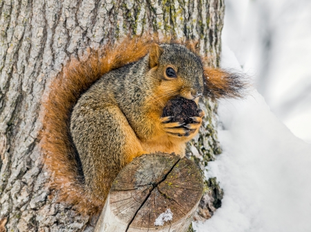 A fox squirrel, perched in a tree nibbles on a walnut in a snowy landscape photo