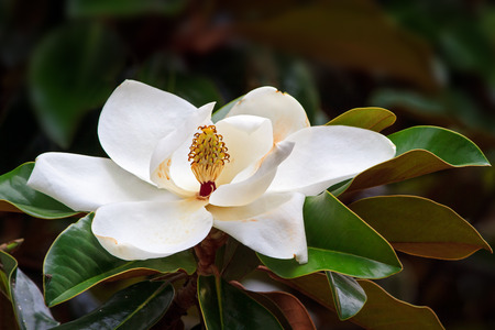 the magnolia: A large, creamy white southern magnolia flower blossom is circled by the glossy green leaves of the tree