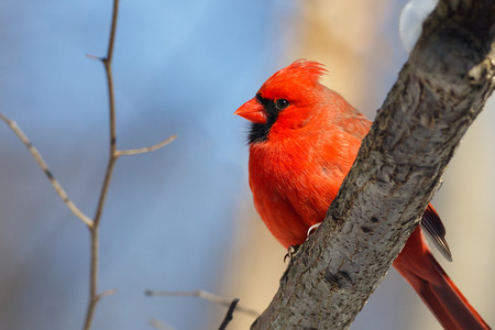 A male northern cardinal rests on a branch in the woods with a blue winter sky behind