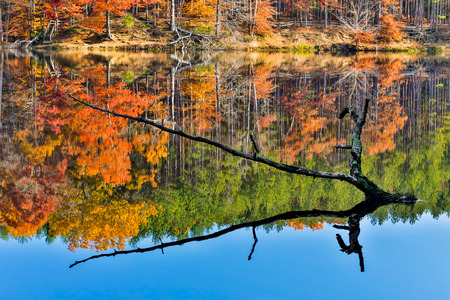 A partially sunken tree branch rises out of a lake reflecting intensely colorful fall foliage  Image captured at Strahl Lake in Indiana