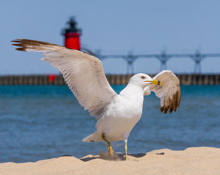 A seagull flaps its wings and kicks up sand on a beach with a red lighthouse  in the background  Shot at South Haven, Michigan on Lake Michigan  photo