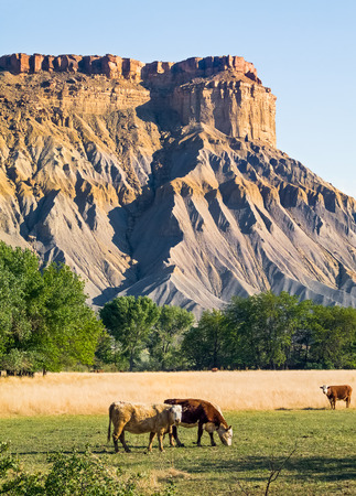 badlands: Cattle graze in the Utah badlands near Capitol Reef National Park