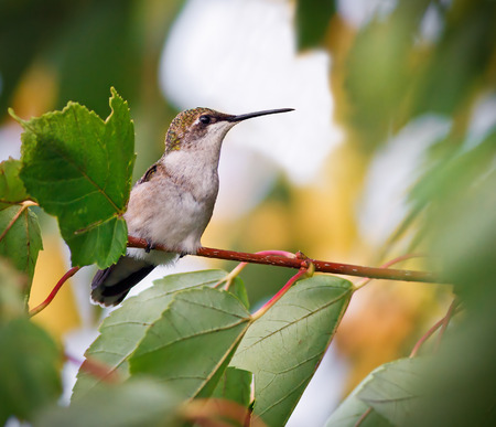 ruby throated: A female ruby throated hummingbird rests perched in a maple tree  Stock Photo