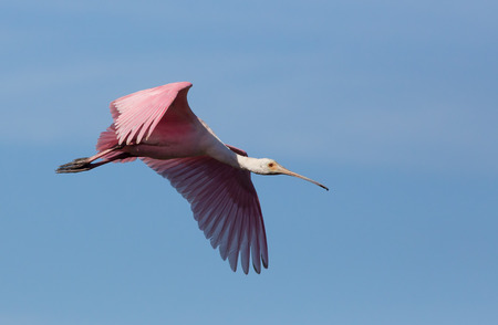 roseate: A roseate spoonbill, swith its long paddle-shaped beak and pink plumage, soars in a blue Florida sky