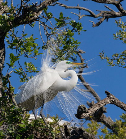 nuptial: A large white great egret perches in a tree showing its  nuptial plumes , special feathers that emerge in breeding season  Stock Photo