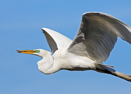 ardeidae: A large white great egret flies back to its nest with a stick in its yellow bill against a beautiful blue sky  Stock Photo
