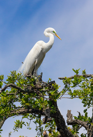 ardeidae: A great egret is perched atop a tree in a Florida swamp with a blue cloudy sky behind.