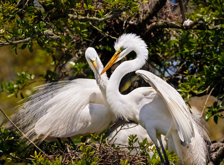 egrets: Two great egrets, one with a stick in its bill, build a nest together in a Florida swamp