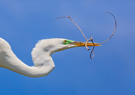 carrying: A great egret flies with a twig in its yellow bill backed by a deep blue Florida sky