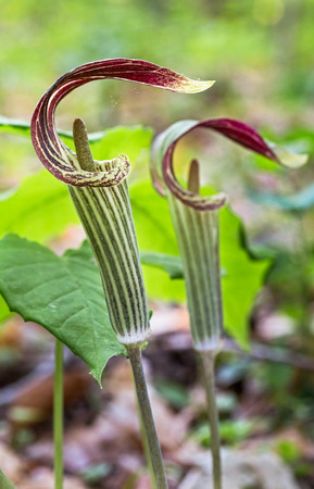 Jack in the Pulpit flowers adorn an Indiana woodland in spring