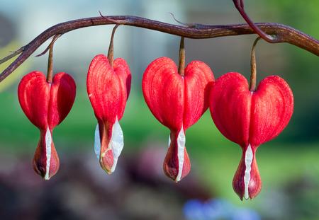 Bleeding Heart flowers in the spring perennial garden  Stock Photo