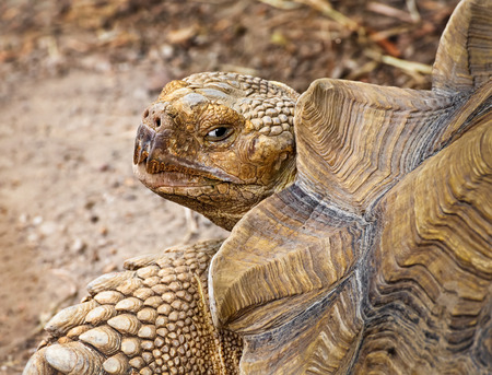 The African spurred tortoise is the largest species of land tortoise in the world Stock Photo - 30526242