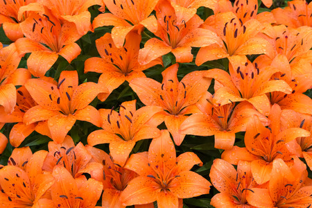 gold en: Beautiful orange lilies are wet from a summer rain shower. Stock Photo