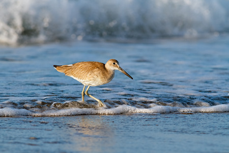 long legged: A willet, a type of sandpiper-like seabird, forages in the surf at Emerald Isle, North Carolina just after sunrise  Stock Photo