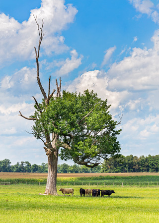 american midwest: A group of cows stands in the shade of an old tree on a hot day in the American Midwest  Stock Photo