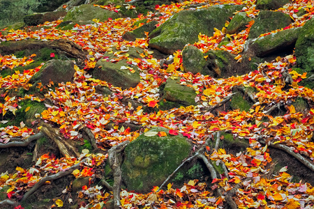Rocks and tree roots are surrounded by freshly fallen autumn leaves photo
