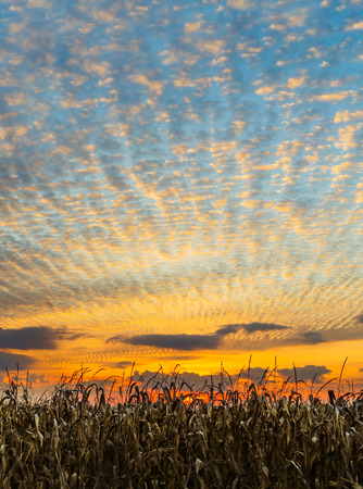 Cornstalks at harvest time stand before a glorious sunset sky in the American Midwest.