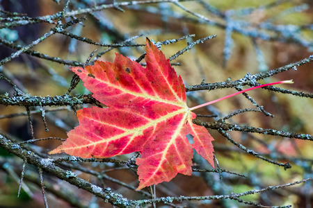 north woods: A vividly colorful fallen maple leaf is caught in twigs in Michigans North Woods.