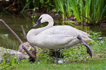 A white trumpeter swan rests while stnading on one leg. photo