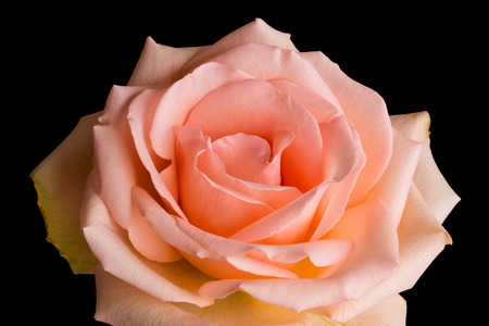 blushing: A rose with blushing pink peach colored petals blooms isolated against a dark black background.